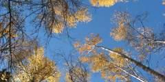 58. Wind in Birch Trees