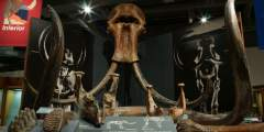 59. Mastodons and Woolly Mammoths