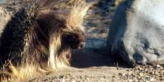Alaska's Porcupines