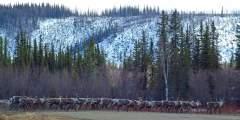 Fortymile Caribou Herd