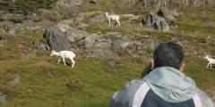 Dall Sheep Viewing at Windy Corner
