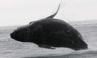 2018-41-Whale_Breaching-pdvqnn