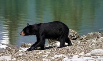 2018-46-Black_Bear_in_Kenai_Fjords_National_Park-pdvqyx