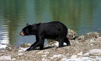 Alaska-Coast-To-Denali-Journey-46-Black_Bear_in_Kenai_Fjords_National_Park-pdvtia