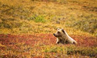 Alaska-Coast-To-Denali-Journey-52-Bear_in_Denali_National_Park-pdvtij
