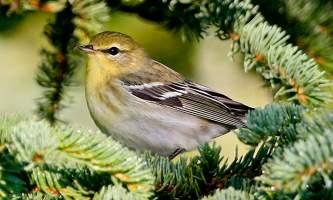 Bird_Species-08-mknjck