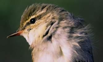 Bird_Species-nhvweq