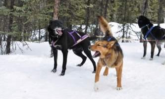 Black spruce dog sledding dsc 0572 o164m6