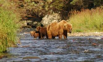 Brooks_Sow_and_cubs-rsz-copyright_Russ_Johnson-ma82je