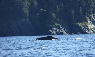 Shuyak island whale near big fort island shuyak island state park o19y0y