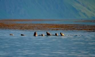 Unalaska_Sea_Lions2014-nyaiv6