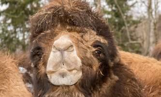 Alaska zoo 2016 john gomes B Camel o6xl3t