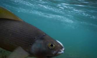 Aniak-air-guides-Fishing-_17_Underwater_Grayling-pmesuq