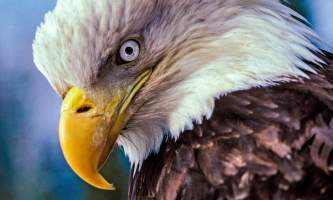 Bald_eagle-10-mknjcy