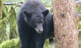 Black_bear-12-mryhun