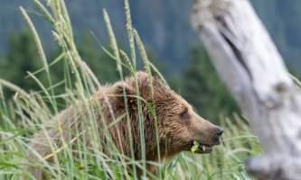 Great-alaska-bear-camp-Bear-wind-grass_dante-870779867-phuct9