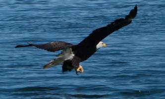 Infinite-alaska-adventures-eagle3-p2posp