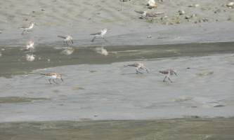 Shorebirds-06-mknjv3