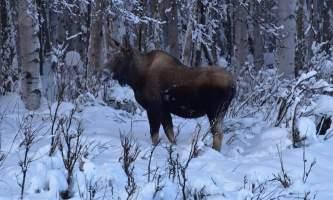 Snowmobiling moose2 p5hyb8