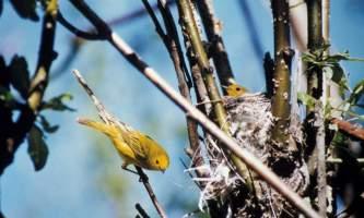 Warbler-thrush-chickadee-02-mryhrn