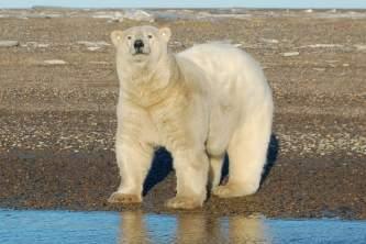 Polar Bear Expedition 03 n3qkag