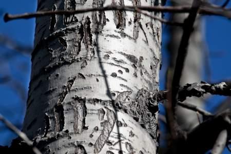 Bear Marks on Tree