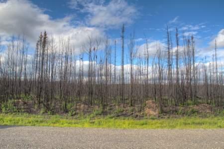 Burnt Birch Forest