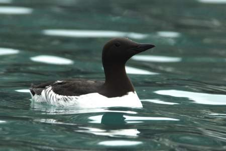 Common Murres Caves