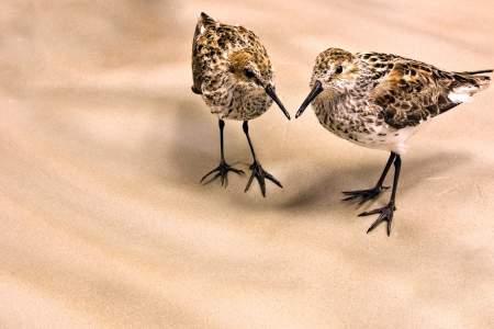 62. Alaska's Shorebirds