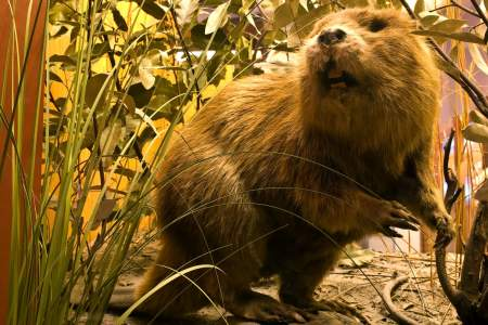 66. Beaver Trapping
