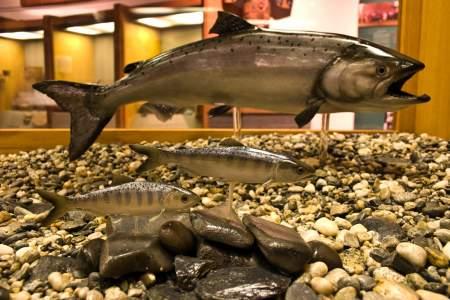 74. Salmon Life Cycle