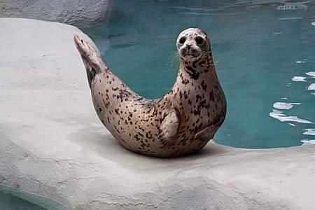 Harbor Seal / River Otter
