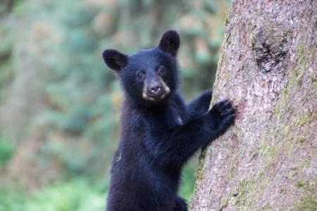 Anan Wildlife Observatory: Bears Near Ketchikan & Wrangell