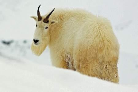 Mountain Goat Viewing