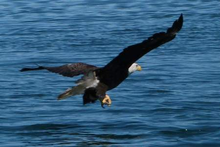 Bald Eagle Viewing on the Homer Spit