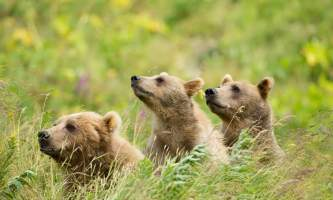 Alaska Air Service Bears Lake Clark bear image hi res 2