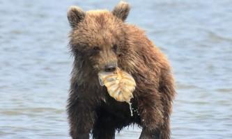 Alaska bear adventures 8 AE81524 E61 C 43 B8 A65 A 6611 D9 F299 BE