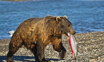 Alaska Bear Adventures with K Bay am 163mod2019
