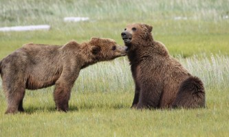 Alaska Bear Adventures with K Bay 07 02 09 37912019