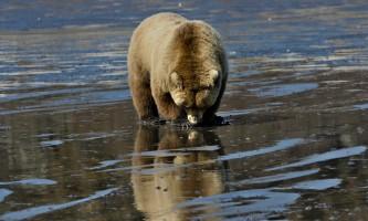 Alaska Bear Adventures with K Bay 05 13 09 1539 M2019
