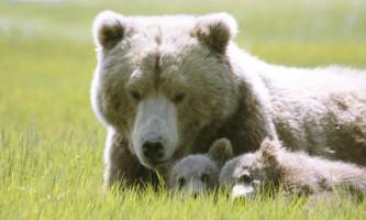 Alaska Bear Adventures with K Bay 07 08 09 7238 22019