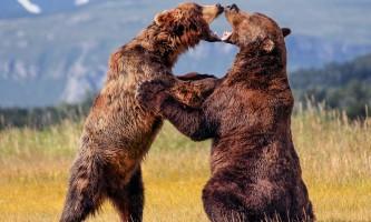 Alaska Bear Adventures with K Bay 166 M 22019