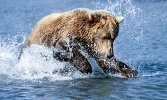 Alaska Bear Adventures with K Bay 202 22019