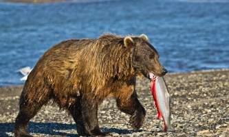 Alaska Bear Adventures with K Bay am 163mod2019