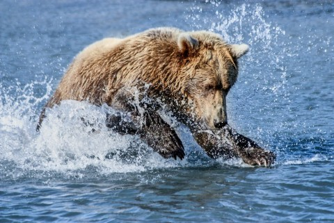 Bear behavior changes based on time of year. Watch them fish or dig for clams