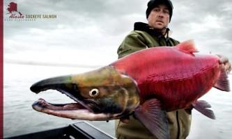 Alaska Mark w sockeye Alaska Fishing with Mark Glassmaker