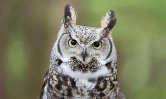 Alaska raptor center Great Horned Owl Narwhal 2017