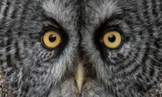 Alaska raptor center Great grey owl Boris David M Iddleton 2017