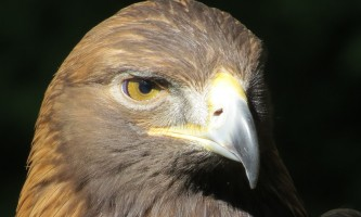Alaska raptor center Golden eagle Oliver2 2017