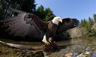 Alaska raptor center Eagle at Indian River 2017